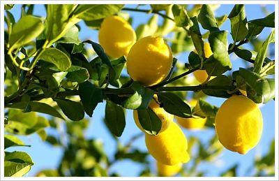 limonero 4_opt